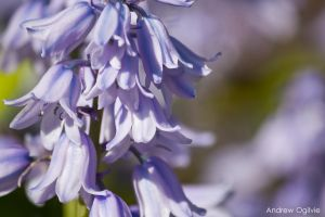 Spanish Bluebell by PrimalOrB
