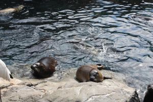 Sea World: Sea Lions I by KW-stock