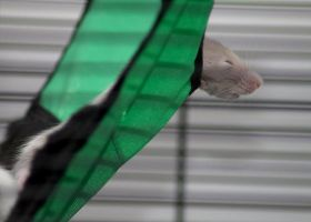 Baby rat sleeping in hammock 02 by stphq