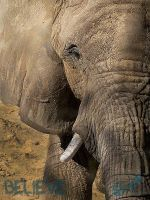 African Elephant - lV by BelievePhotography