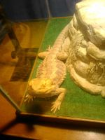 Reggy the bearded dragon by eramthgin-1027501
