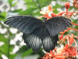 Black Butterfly by harpseal16