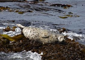 Harbor Seal by Track-Maidens
