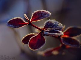 frozen berberis by efeline