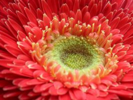 yellow centred red gerbera by Paul774