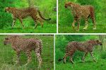 Cheetah by PirateLotus-Stock