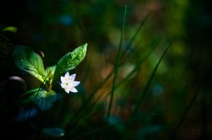 White Flower by JoniNiemela