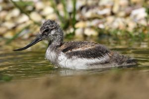Avocet chick. by cycoze