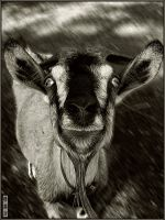 I hear from goat!. by romandaom