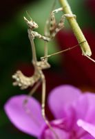 Mantis IV by twisteDtenDerness