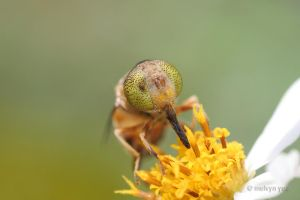 Hoverfly 2 by melvynyeo