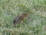 Thirteen-Lined Ground Squirrel 14 by Windthin