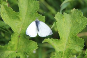 White butterfly between plants Holland by slingeraar