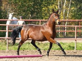 Trakehner mare trot by wakedeadman