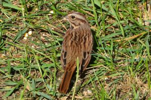 Song Sparrow by Brooklyn47