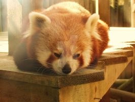 Red Panda by hannajayne31