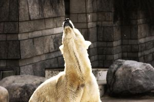 Polar Bear. by ScHoKoKeKsChEn