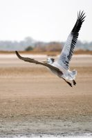 Pelican 03 by servale
