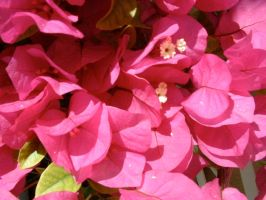 Bougainvilliers by alxboss