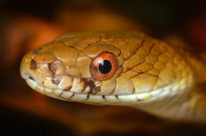 Ratsnake by Blaklisted
