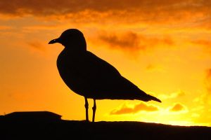 Seagull sunset - Terrigal 2 by wildplaces