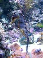 Stock 427: seahorse by AlzirrSwanheartStock