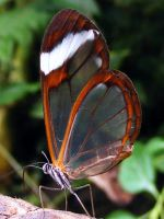 Glasswing Macro by printsILike