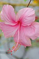 Pink hibiscus flower by a6-k