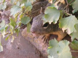 grand canyon squirrel by grenztruppen