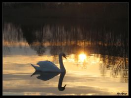 swan at sunset by happyline