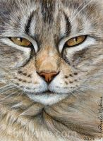 ACEO Tabby cat - Sleepy Glance by sschukina