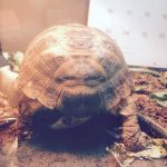 Tortoise bum  by BrownSwissAndLove