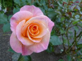Peach to pink by DompteurLoup