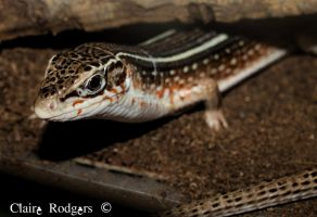 Yellow Throated Plated Lizard by MaliskaRodgers