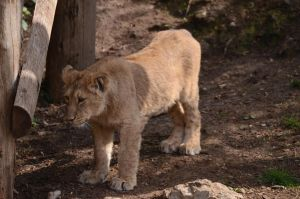 Lion Cub 4 by Lakela