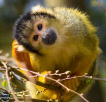 Common Squirl Monkey by framafoto