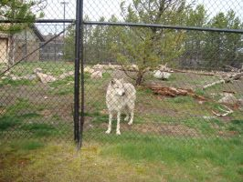 Wolf at the Discovery Center by WerewolfUlrich