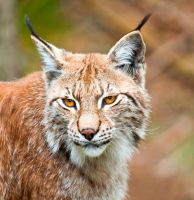 Lynx3 by PictureByPali