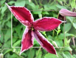 Clematis Star by dove-51