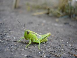 Grasshopper 1 of 3 by soliton