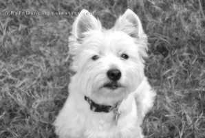 West Highland White Terrier by Ra1nDanc3r