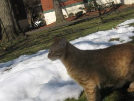 orange cat in snow 02 by CotyStock