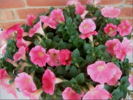 Petunias by Variety-Stock