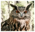 Great Horned Owl II by Tzarina
