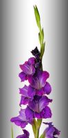 Gladiola 30584 by hfpierson