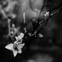 Black and White Leaves by kbhollo