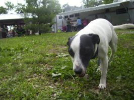 Jack Russell Terrier stock 1 by Icera-Stock