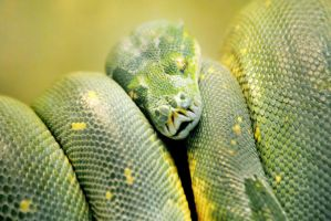 Green Tree Python by KrisVlad