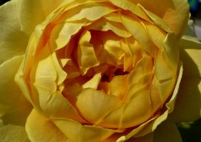 Yellow Rose by Clangston