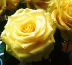 Buttered Rose. by accorrnia